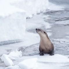 Otter & Ice