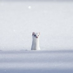 Winter Weasel