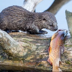 Young otter eying large trout